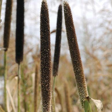 Hybrid Pearl Millet Millet