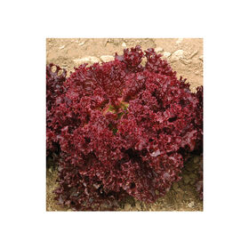 Dark Red Lollo Rossa