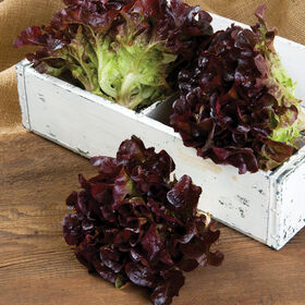 Rouxai橡树叶生菜