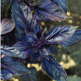 红宝石紫罗勒