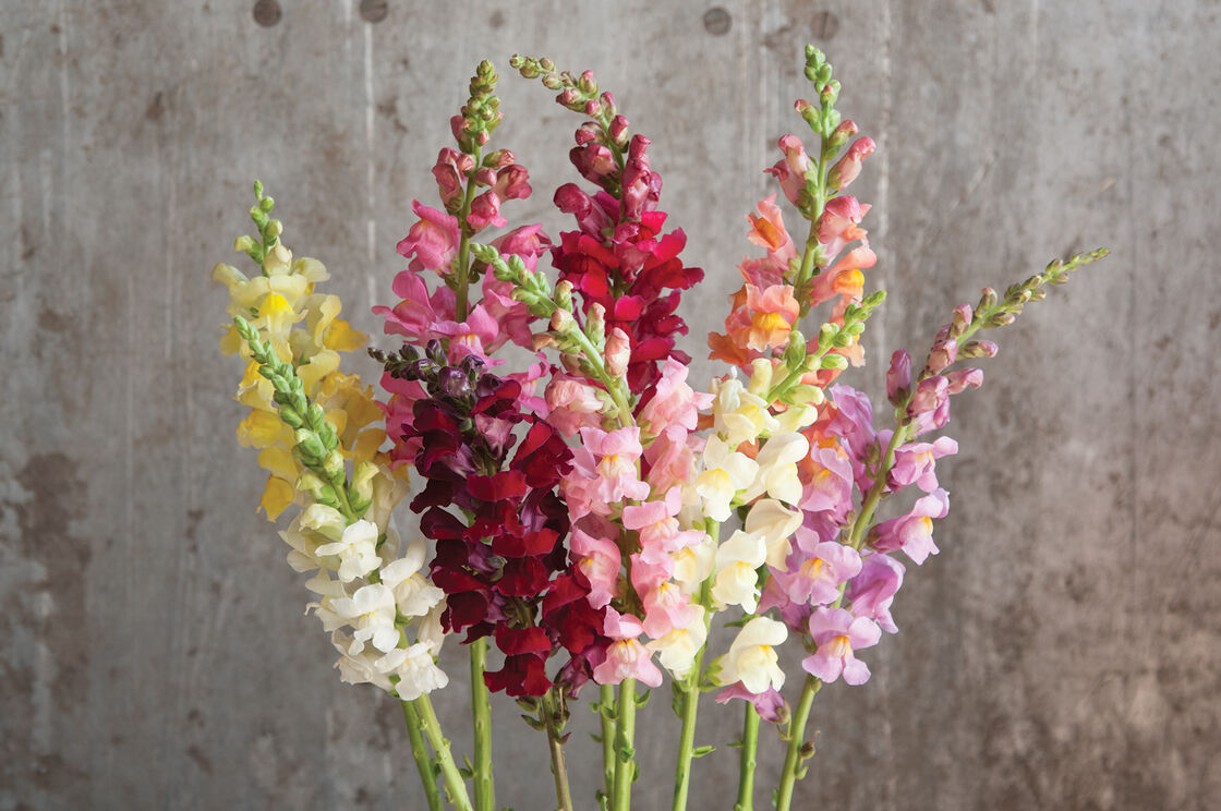 Rocket Mix F1 Snapdragon Seed Johnnys Selected Seeds