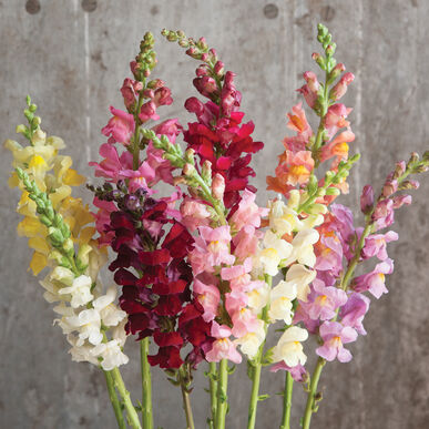 Rocket Mix Snapdragon