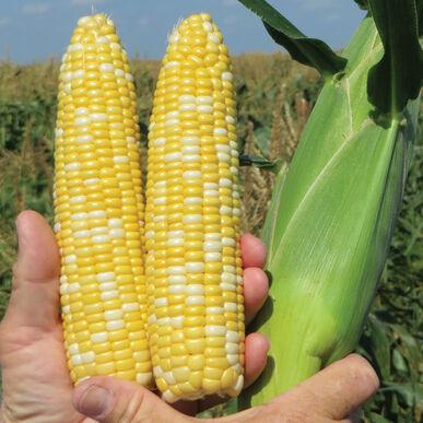 SS2742 Sweet Corn