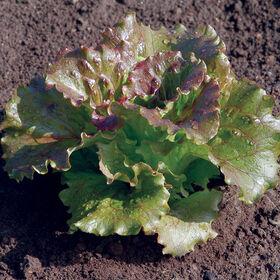 Magenta Summer Crisp Lettuce (Batavia)