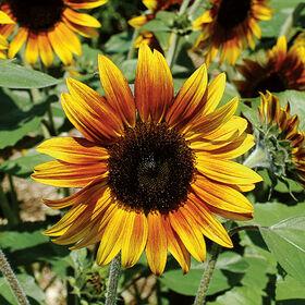 Firecracker Dwarf Sunflowers