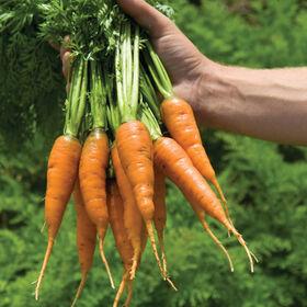 加拉加斯早胡萝卜