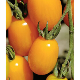 Golden Sweet Grape Tomatoes