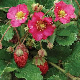 Tarpan草莓种子