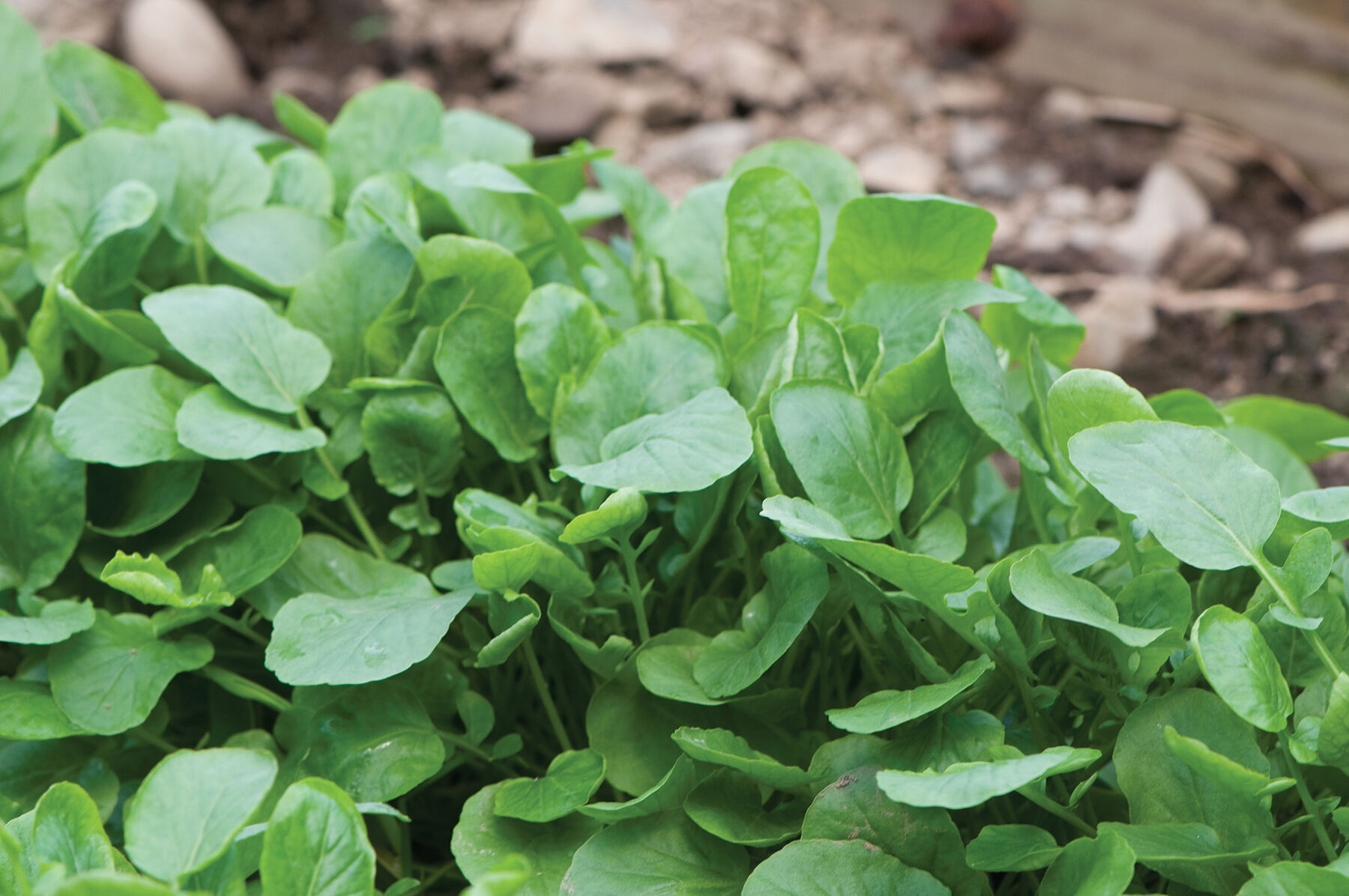 Upland Cress Green Seed Johnnys Selected Seeds