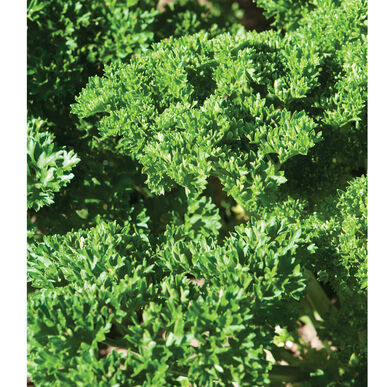 Moss Curled II