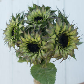 Sun-Fill™ Purple Tall Sunflowers