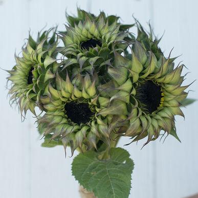 Sun-Fill™ Purple Tall, Single Stem Sunflowers