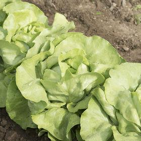 Mirlo Butterhead Lettuce (Boston)