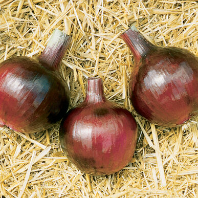 Redwing Onion Plants
