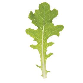 Bolsachica橡树叶生菜