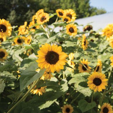 Gold Rush Tall, Branching Sunflowers