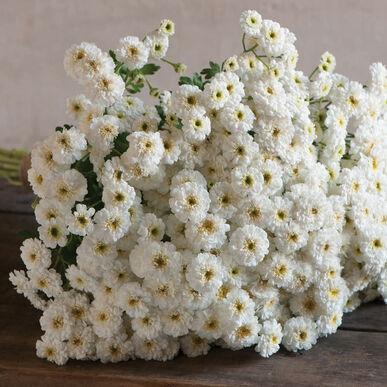 Tetra White Matricaria
