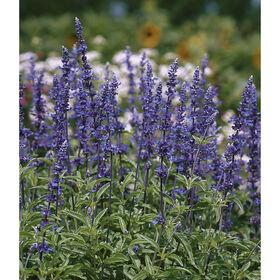 Gruppenblau Salvia