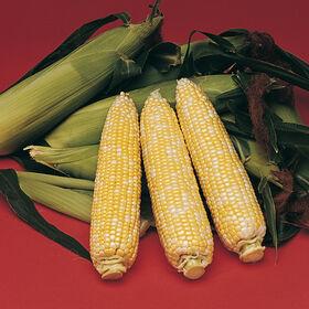 美味甜玉米