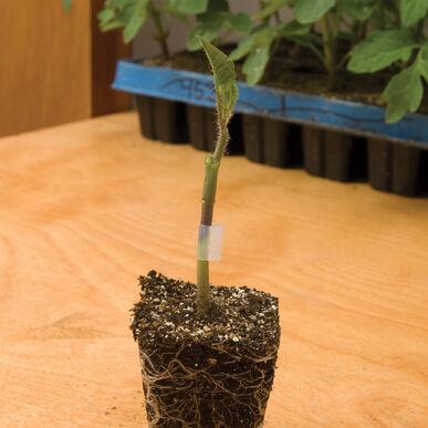 Estamino Rootstock Tomatoes