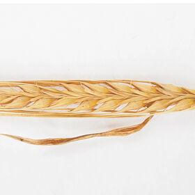 大麦(康伦)大麦