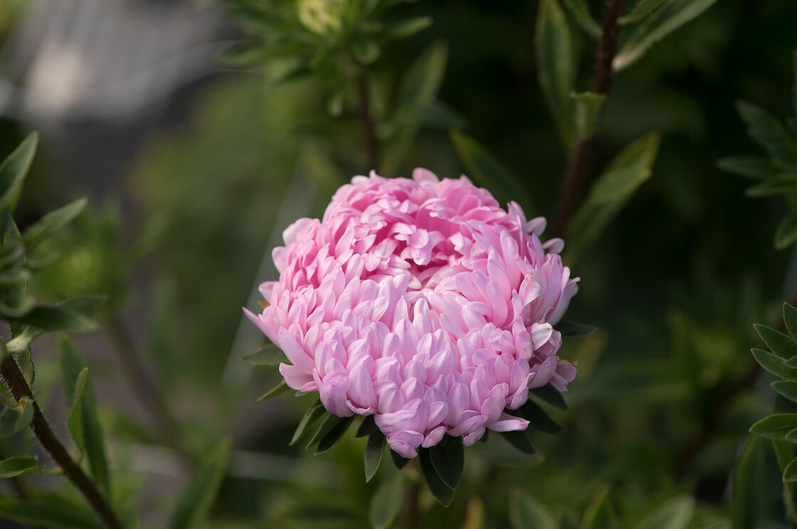Tower Salmon China Aster Seed Johnnys Selected Seeds
