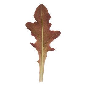 叶片橡树叶生菜