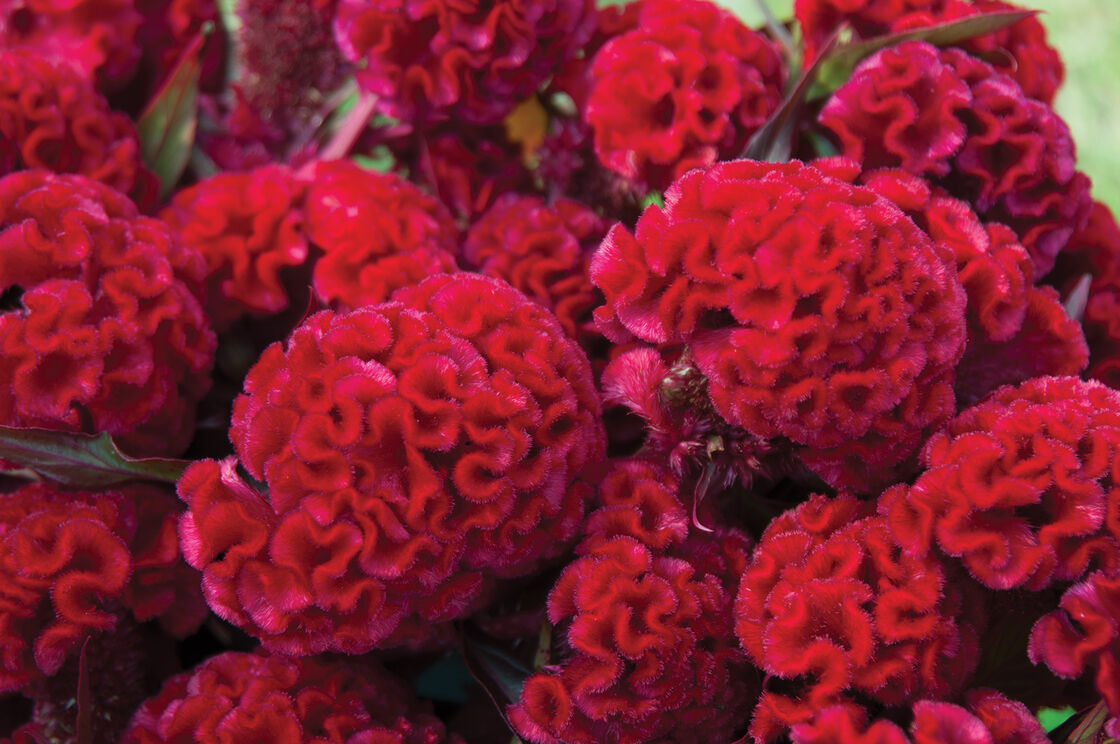 Red Flame Organic Celosia Seed Johnnys Selected Seeds