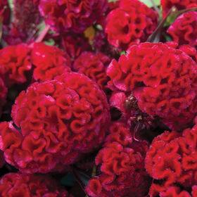红色火焰Celosia