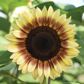 ProCut Red/Lemon Bicolor Tall, Single Stem Sunflowers