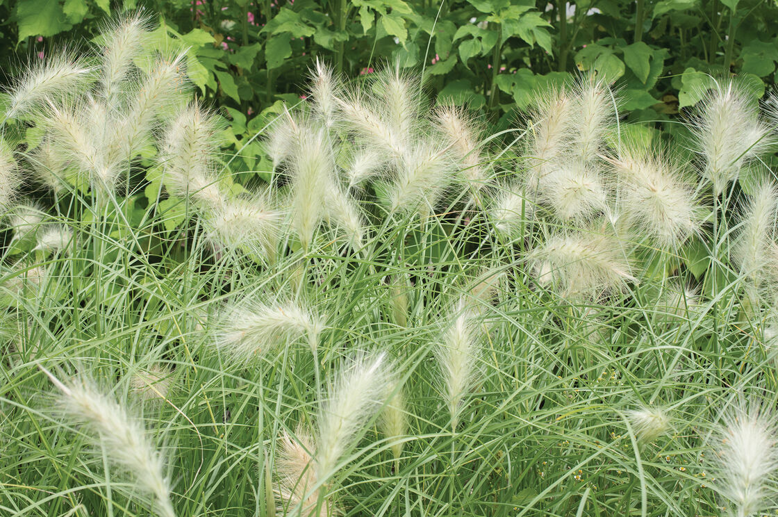 Feathertop ornamental grass seed johnnys selected seeds feathertop grasses ornamental feathertop grasses ornamental workwithnaturefo
