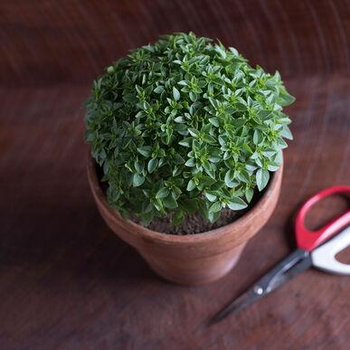 Piccolino Fine Leaf Basil