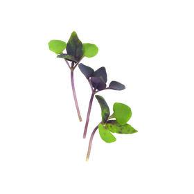 Basil, Dark Opal Microgreen Herbs