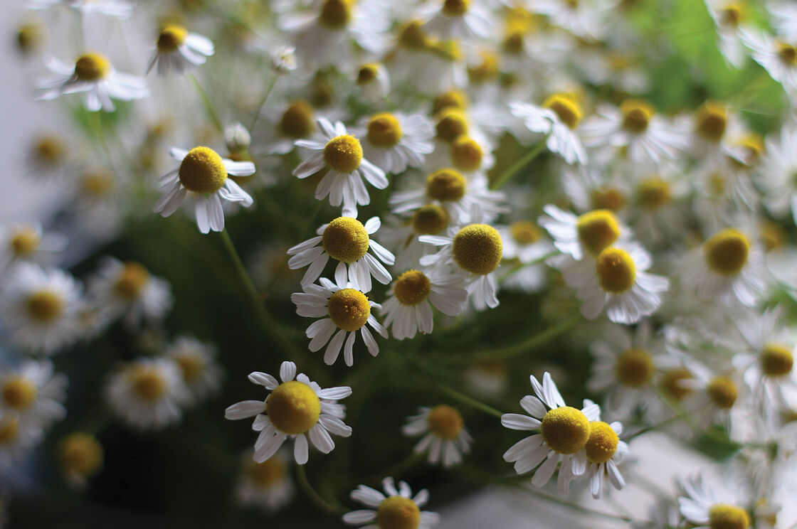 Common Chamomile Seed Johnnys Selected Seeds