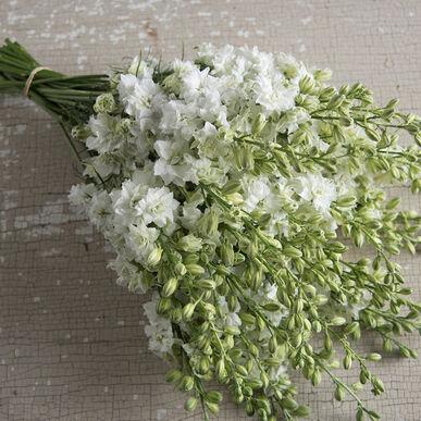 QIS™ White Larkspur