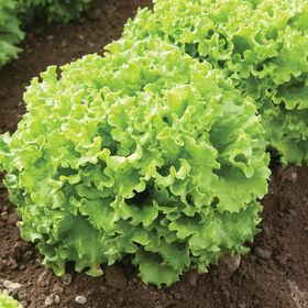 Muir Summer Crisp Lettuce (Batavia)