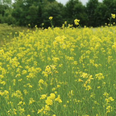 Mighty mustard pacific gold cover crop johnnys selected seeds mighty mustard pacific gold mustards mightylinksfo