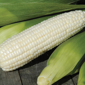 Xtra-Tender 3473甜玉米