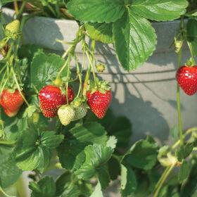 海景草莓裸根植物