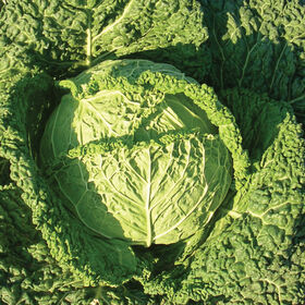 Famosa市场新鲜的卷心菜