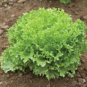 Salanova® Green Sweet Crisp Salanova® Lettuce