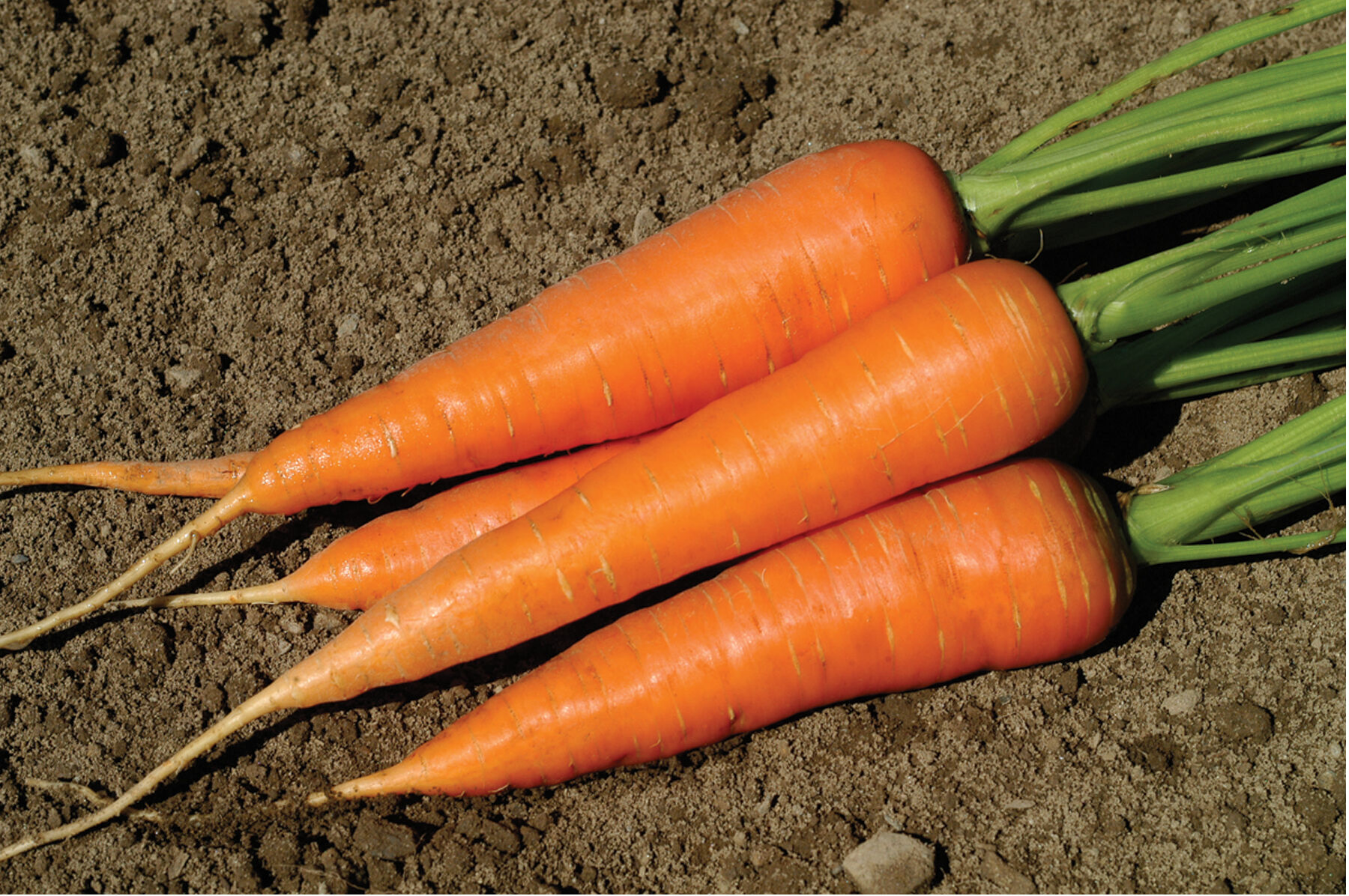 Carrot. Varieties for food, storage and processing 32