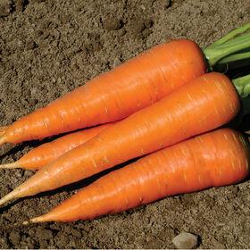 赫拉克勒斯主要作物胡萝卜
