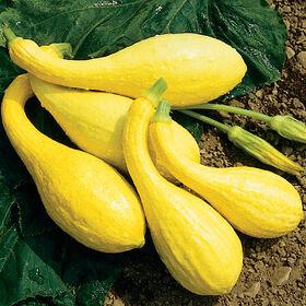 黄色的南瓜西葫芦