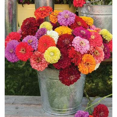 Benary's Giant Mix - Zinnia Seed | Johnny's Selected Seeds on