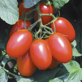 朱丽叶酱西红柿