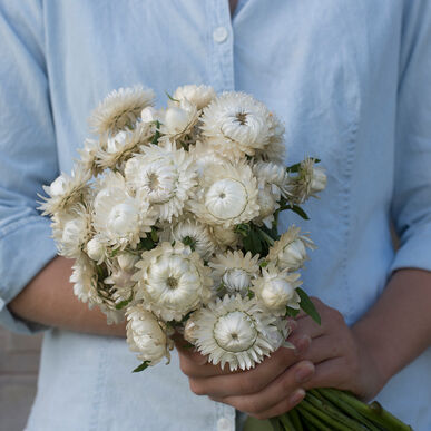 Vintage White Strawflower