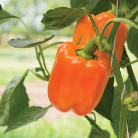 Orangela Sweet Bell Peppers