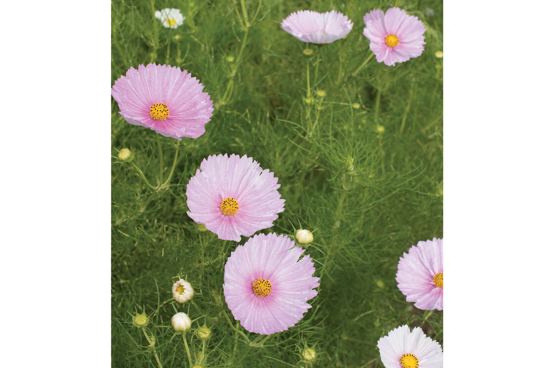 Cupcakes blush cosmos seed johnnys selected seeds cupcakes blush cosmos izmirmasajfo