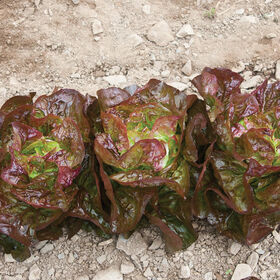 Alkindus Butterhead Lettuce (Boston)
